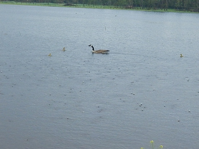 Canadian Goose collecting her babies