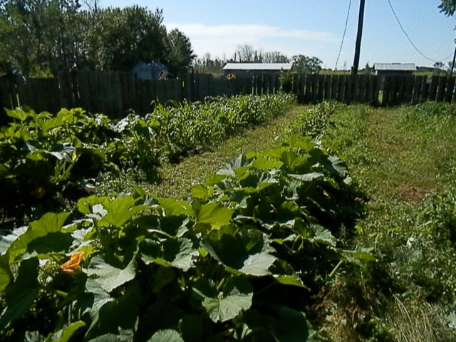 Corn, Beans, Carrots, Zuccini, and Pumpkins