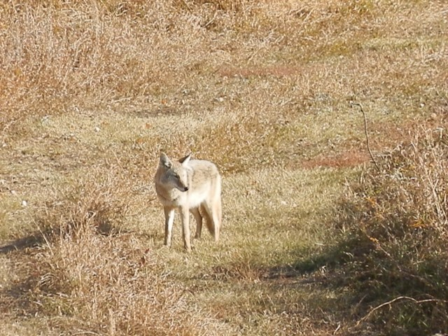 we saw this beautiful coyote in a neighbours field
