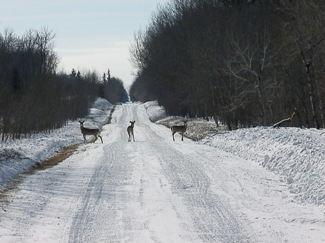 3 mule deer on a grid road
