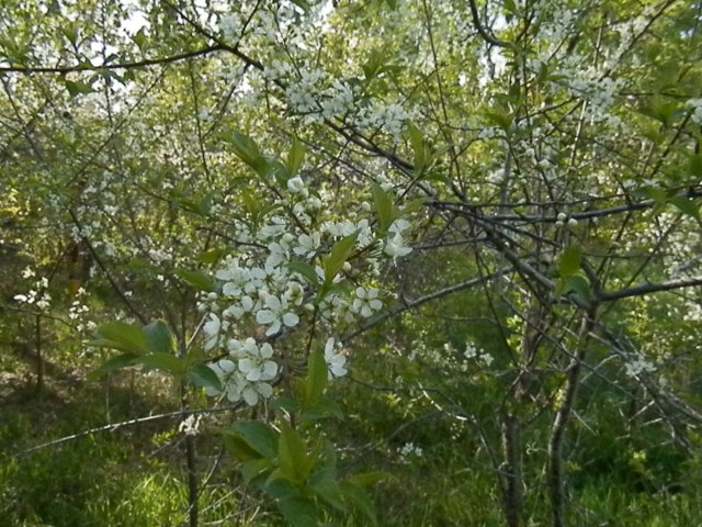 ...and I'm happy to see the plum trees in full bloom.  We cutthe grass, so no more dandelions, but the bees have these pretty blossoms to pollinate now.