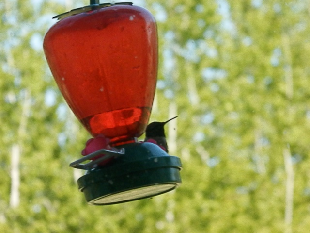 the male hummingbirds are back!